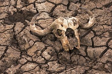 Cape buffalo (Syncerus caffer) skull, Zimanga Private Game Reserve, KwaZulu-Natal, South Africa, Africa