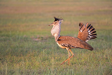 Kori bustard (Ardeotis kori) male courtship display, Kgalagadi Transfrontier Park, Northern Cape, South Africa, Africa