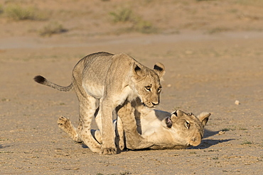 Young lions (Panthera leo) playing, Kgalagadi Transfrontier Park, Northern Cape, South Africa, Africa