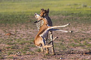 Cheetah (Acinonyx jubatus) with springbok calf kill, Kgalagadi Transfrontier Park, Northern Cape, South Africa, Africa