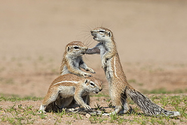 Young ground squirrels (Xerus inauris), Kgalagadi Transfrontier Park, Northern Cape, South Africa, Africa