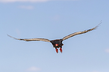 Bateleur (Terathopius ecaudatus) in flight, Kgalagadi Transfrontier Park, South Africa, Africa