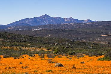 Carpet of orange glossy-eyed parachute-daisies (Ursinia cakilefolia), Skilpad, Namaqua National Park, South Africa, Africa