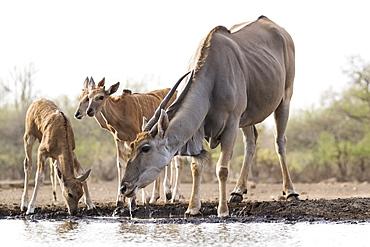 Eland (Taurotragus oryx), Mashatu Game Reserve, Botswana, Africa