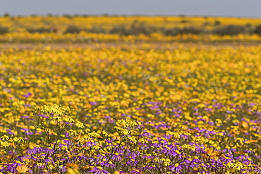 Namaqualand spring flowers, Matjiesfontein farm, Nieuwoudtville, Namaqualand, South Africa, Africa