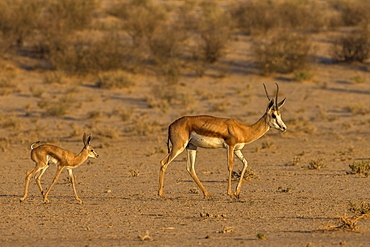 Springbok (Antidorcas marsupialis) and new-born calf, Kgalagadi Transfrontier Park, South Africa, Africa