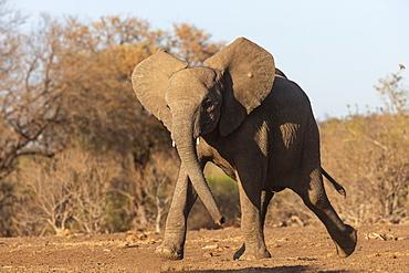 Elephant (Loxodonta africana) running to water, Mashatu Game Reserve, Botswana, Africa
