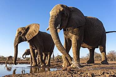 Elephants (Loxodonta africana) at water, Mashatu Game Reserve, Botswana, Africa