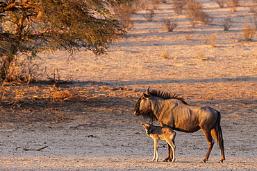 Wildebeest (Connochaetes taurinus) with calf, Kgalagadi Transfrontier Park, South Africa, Africa