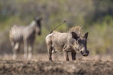 Warthog (Phacochoerus africanus), Mashatu Game Reserve, Botswana, Africa