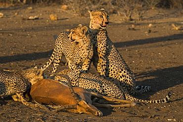 Cheetahs (Acinonyx jubatus) with impala kill, Northern Tuli Game Reserve, Botswana, Africa