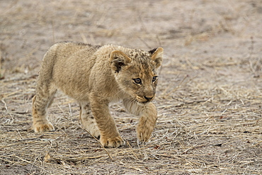 Lion (Panthera leo) cub, Elephant Plains, Sabi Sand Game Reserve, South Africa, Africa