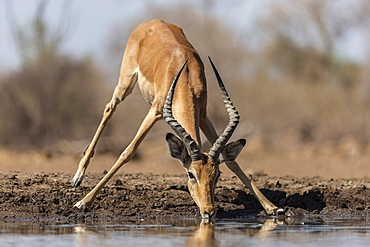 Impala (Aepyceros melampus), Mashatu Game Reserve, Botswana, Africa