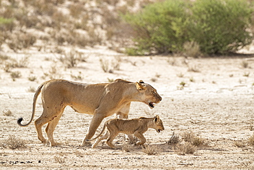 Lioness (Panthera leo) with cub, Kgalagadi Transfrontier Park, South Africa, Africa