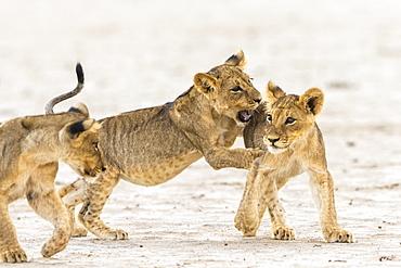 Lion (Panthera leo) cubs playing, Kgalagadi Transfrontier Park, South Africa, Africa