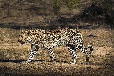 Leopard (Panthera pardus), Elephant Plains, Sabi Sand Game Reserve, South Africa, Africa