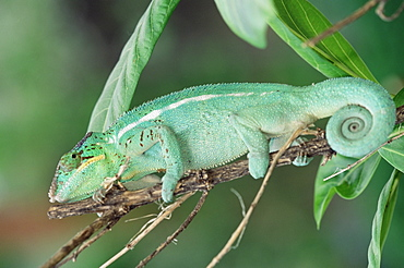 Panther chameleon on a branch