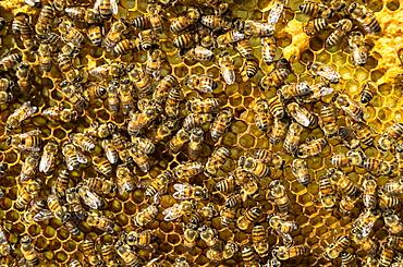 Honey bees on honeycomb, Mexico, North America