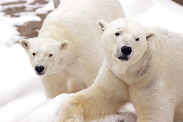 Close-up of two polar bears
