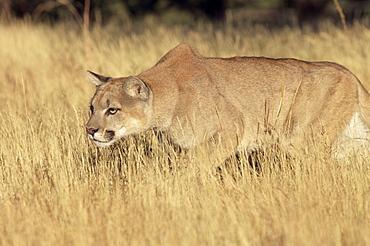 Mountain lion stalking, Colorado, United States of America, North America
