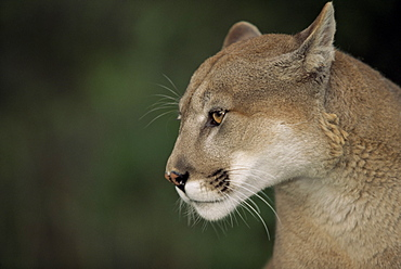 Close-up of a mountain lion, Montana, United States of America, North America