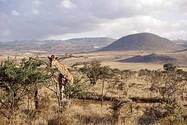 Giraffe, Kenya, East Africa, Africa