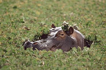 Hippopotamus in water, Kenya, East Africa, Africa
