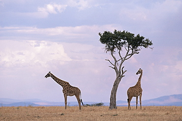 Two giraffes with acacia tree, Masai Mara, Kenya, East Africa, Africa