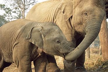 Captive Asian (Indian) elephants, India, Asia