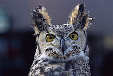 Close-up of a greeat horned owl, Bubo Virginiarius, Colorado, United States of America, North America