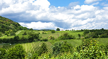 Rows of grape vines in vineyards, Pfalz wine area, Rhineland-Palatinate, Germany, Europe