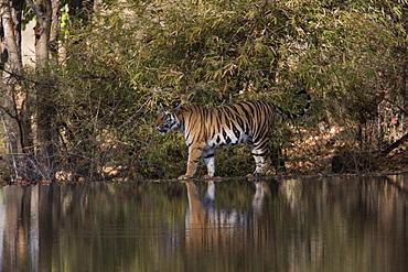 Indian tiger, (Bengal tiger) (Panthera tigris tigris), Bandhavgarh National Park, Madhya Pradesh state, India, Asia