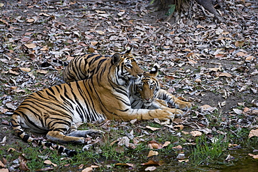 Indian tigress, (Bengal tiger) (Panthera tigris tigris) with her cub, Bandhavgarh National Park, Madhya Pradesh state, India, Asia