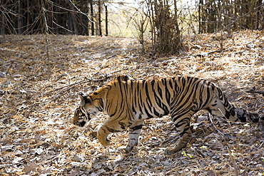 Indian tiger, (Bengal tiger) (Panthera tigris tigris), Bandhavgarh National Park, Madhya Pradesh state, India, Asia