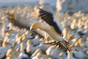Cape Gannet, (Morus capensis), Bird Island, Lambert' s Bay, South Africa