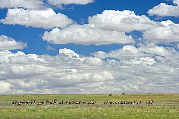 Herd of gemsbok (Oryx gazella), Namib Rand Nature Reserve, Namibia, Africa