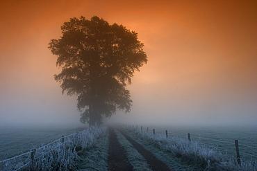 Tree in the morning fog, Bielefeld, Nordrhein Westfalen, Germany
