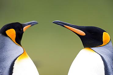 King penguin (Aptenodytes patagonicus), Gold Harbour, South Georgia, Antarctic, Polar Regions