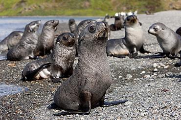 Antarctic fur seal pups (Arctocephalus gazella), Husvik Island, Antarctic, Polar Regions