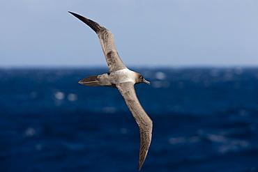 Light-mantled sooty albatross (Phoebetria palpebrata), Southern Ocean, Antarctic, Polar Regions