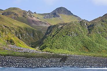 King penguin colony (Aptenodytes patagonicus), Macquarie Island, Sub-Antarctic, Polar Regions