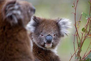 Koala (Phascolarctos cinereus), in a eucalyptus tree, Yanchep National Park, West Australia, Australia, Pacific