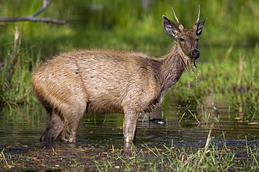 Sambar Deer, (Cervus unicolor), Bandhavgarh N.P., Madhya Pradesh, India