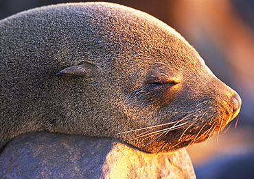 South African Fur Seal, (Arctocephalus pusillus), Cape Cross, Namibia