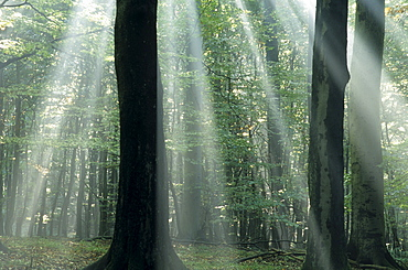 Sun's rays penetrating the forest, Bielefeld, North Rhine-Westphalia, Germany, Europe