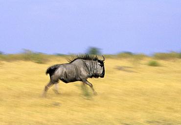 Blue wildebeest, Connochaetes tauvinus, Chobe National Park, Savuti, Botswana, Africa