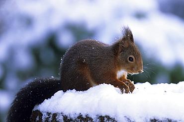Red squirrel, Sciurus vulgaris, Bielefeld, North Rhine-Westphalia, Germany, Europe
