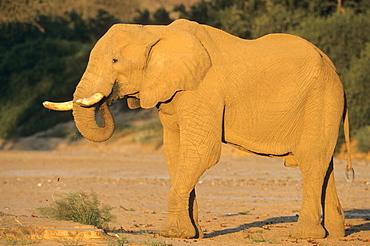 Desert-dwelling elephant, Loxodonta africana africana, Dry River, Hoanib, Kaokoland, Namibia, Africa