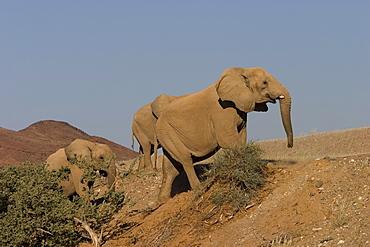 Desert-dwelling elephants, Loxodonta africana africana, Dry River, Hoanib, Kaokoland, Namibia, Africa