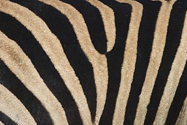 Plains zebra, Burchell's zebra, Equus burchellii, Khwai River, Botswana, Africa